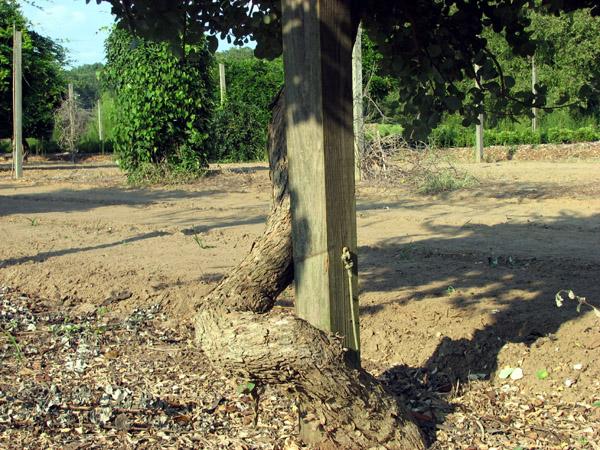 Vitex rotundifolia 2 - Sept 2006