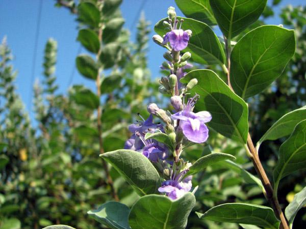 Vitex rotundifolia 3 - Sept 2006