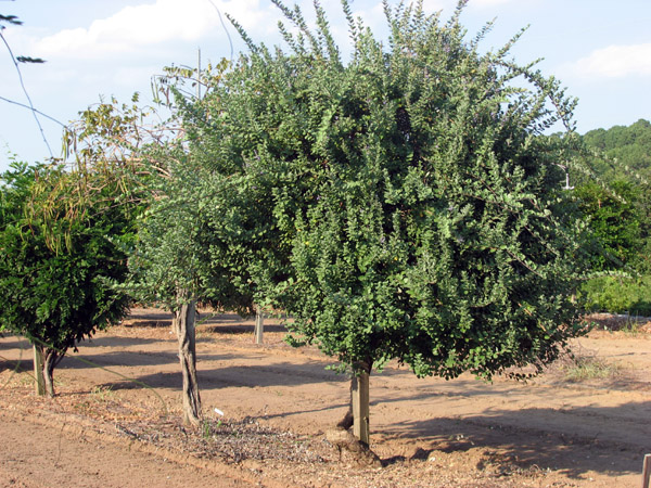 Vitex rotundifolia - Sept 2006