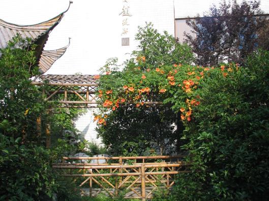 Campsis grandiflora Suzhou June 2005