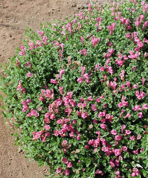 Scuttelaria suffrutescens-1a