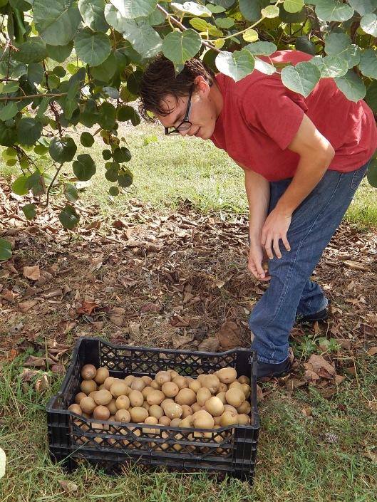 kiwi 2015 student harvest